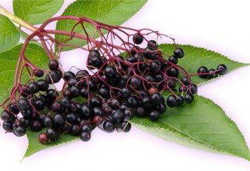 herbacé Sureau: propriétés médicinales, les règles de culture, l'application de