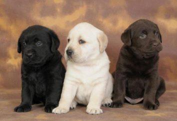 El apodo para el niño Labrador: ideas interesantes, recomendaciones y comentarios