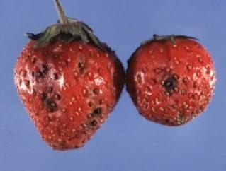 Do najbardziej znanych chorób truskawek: fuzariozy