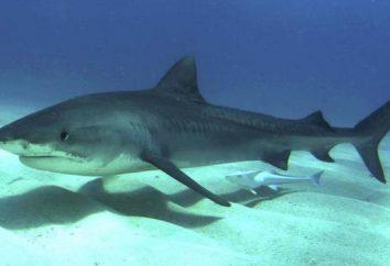Liste les caractéristiques de l'ancien dans les poissons cartilagineux moderne. leurs caractéristiques