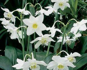 Amazon Lily – un fiore delicato e bello