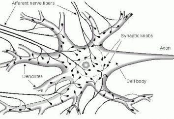 Es decir, el sistema nervioso para el cuerpo. La estructura del sistema nervioso