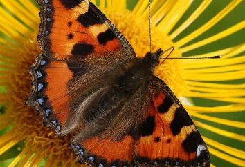 Il ressemble à une éruption de papillon?
