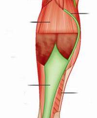 Die Muskeln der unteren Extremität Person: Struktur, Funktion