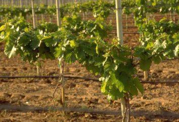 La corretta manutenzione delle uve nelle periferie