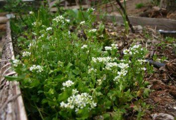 Euphraise: propriétés utiles. herbe Euphraise à l'oeil