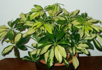 In Scheffler Blätter fallen: Gründe. Scheffler Tropfen Blätter, was zu tun ist?
