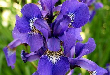 Fiore viola – un elemento di fiaba