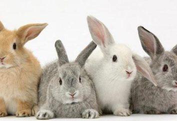 W oku królika spuchnięte: możliwe przyczyny, metody leczenia i funkcje