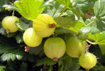 La molla uva spina di alimentazione. I cespugli mangimi ribes e uva spina in primavera