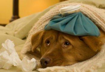 Przeziębienie u psów: Objawy i leczenie