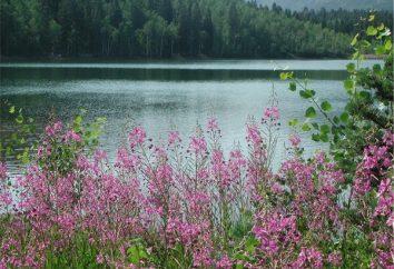 Le proprietà curative di fireweed. applicazione