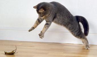 Toxoplasmosis: Los síntomas de un gato. ¿Qué pasa si vienen?
