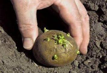 Wie Kartoffeln im Land wachsen?