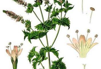 Mentha piperita roślin leczniczych (miętowy): korzyści i szkody trawie