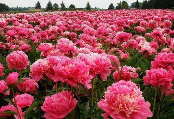 Piwonie: uprawa delikatnych kwiatów
