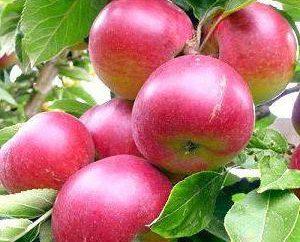 Manzana asterisco árbol: descripción, fotos, opiniones del árbol