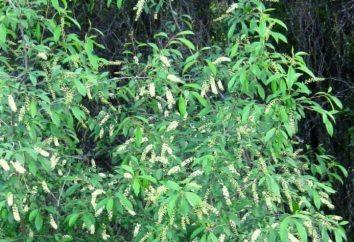 American Laconos est une plante médicinale dangereuse