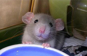 Dekoracyjne szczur Dumbo: cute little friend