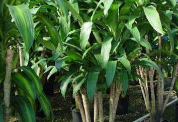 Dracaena: le punte delle foglie gialle – che cosa fare? Perché Dracaena ingiallisce, appassiscono, le foglie cadono?