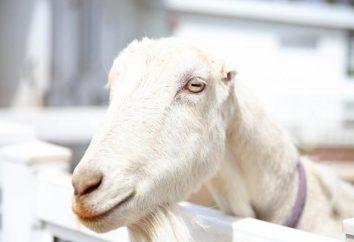 Los alumnos de cabra: ¿por qué tal forma?