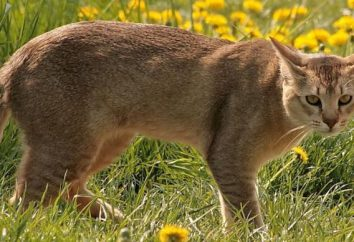 gato de la selva americana: Descripción de la raza y las características de los contenidos en el hogar