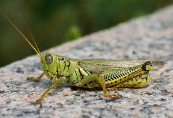 insectes orthoptères: la description, les caractéristiques, les types et la classification