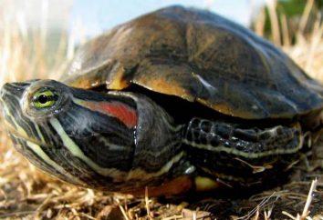 Animali domestici inusuali: tartarughe rosse. Quanti possono questi animali senza acqua?