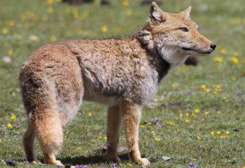 Kim ona jest – to tajemnicza tybetański lisa?