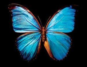 Ali di farfalla – un grande mistero della natura