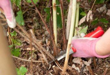 Préparation à l'hiver: élimination des framboises après la fructification