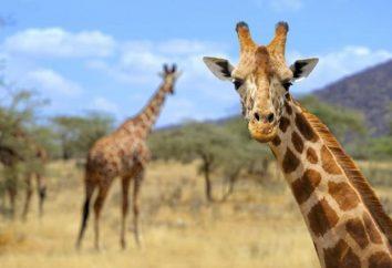 Ciekawostki o żyraf dla dzieci i dorosłych