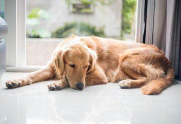 Niedoczynność tarczycy u psów: objawy, leczenie, przyczyny choroby