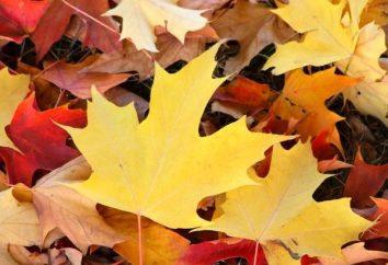 Por que folhas ficam amarelas no outono? Nós aprendemos!