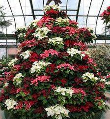 """Flor """"árbol de Navidad"""": Consejos para el cuidado"""