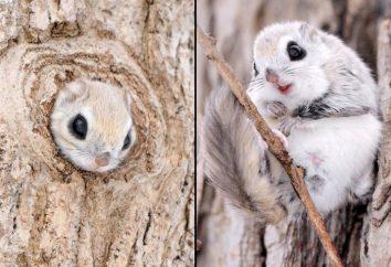 Siberian polatucha: opis i zdjęcie. Kto leci wiewiórkę?