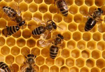 Bee Podmore: Właściwości terapeutyczne i przeciwwskazania. Że traktuje pszczół Podmore: Opinie po aplikacji