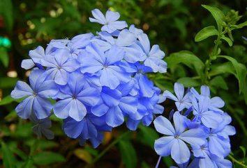 Niebiesko-fioletowy kwiat: sadzenie, pielęgnacja, stosowanie