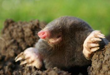 El topo come en el bosque. Topos en el jardín y el jardín: los beneficios y daños