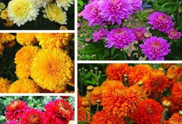 Crisantemo indiana: caratteristiche, la coltivazione, la cura e recensioni