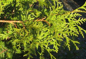 Przycinanie tui wiosna – szczególnie dbając o roślinach