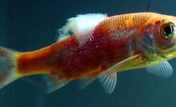 Fin rot: leczenie w ogólnym akwarium