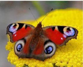 Motyl paw – fruwające urody