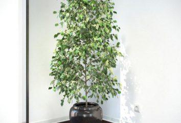 Cultivez bonsaï ficus – bois à l'intérieur de la maison