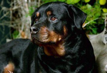 Populaires races de chiens qui gardent