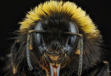 Reine des abeilles. Queen Bee: photo, la description de la race