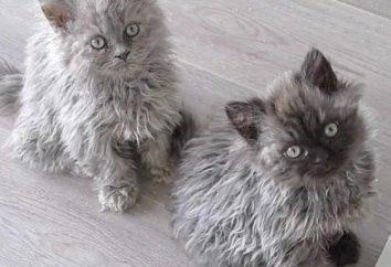 Raça do gato encaracolado chamado?