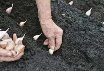 Wenn Knoblauch pflanzen in den Vororten – wählen Sie die beste Zeit