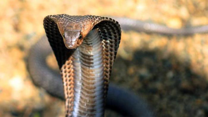 Schlange In Haariger Fotze