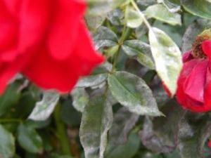 oidio sulla rosa: come combattere?